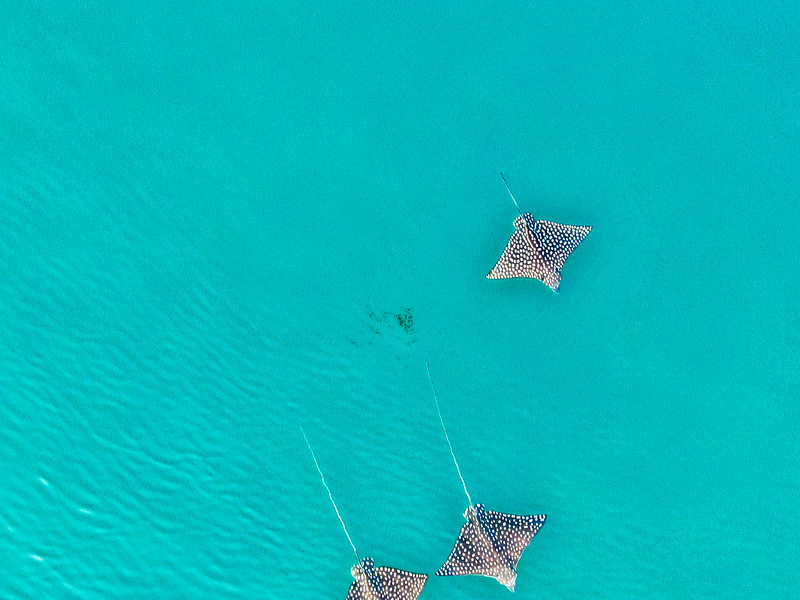 manta rays drone view