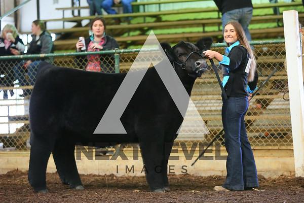 2019 Market Heifer & Steer Ring Shots