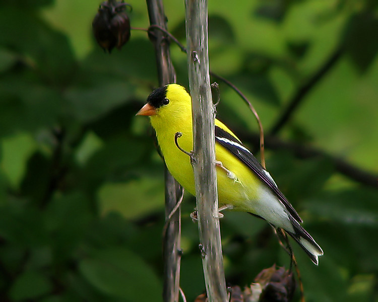 goldfinch_7711.jpg