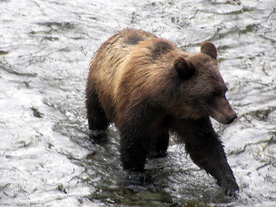 Hyder Bears