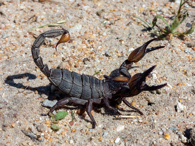 Burrower Scorpion (Opistophthalmus fossor)