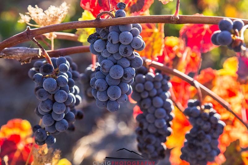 Napa Valley Harvest #27
