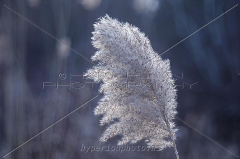 Phragmites australis (Common Reed) - found in wetlands.