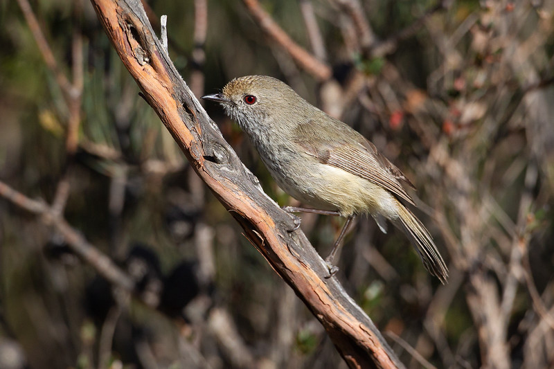 Brown-Thornbill-16_11_069999_108.jpg
