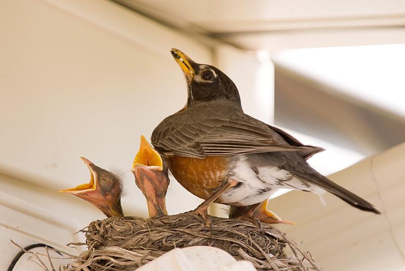 058 Spring 2007 Robin Nest.jpg