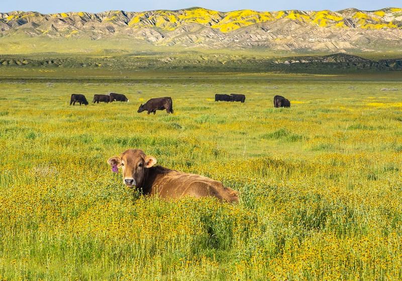 Carrizo Plain_Cows-4.jpg