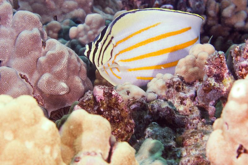 Ornate Butterfly.jpg