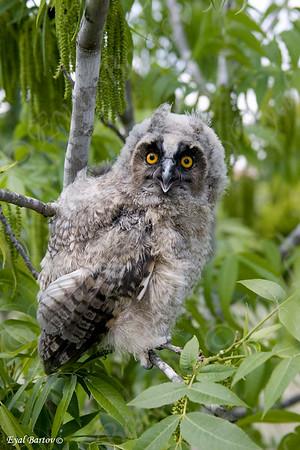 ינשוף עצים  Long Eared Owl