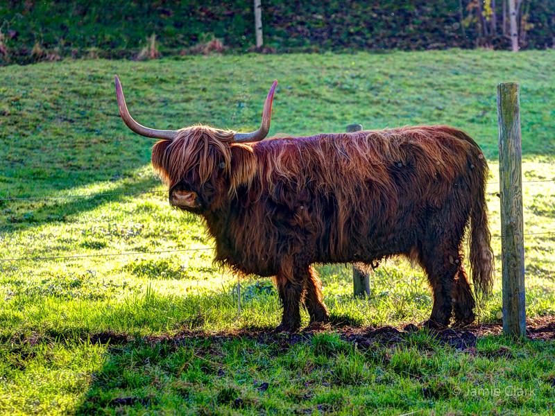 Swiss cow. Lucerne, Switzerland