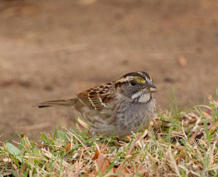 White-throated Sparrow Encinitas 2015 12 09-1.CR2