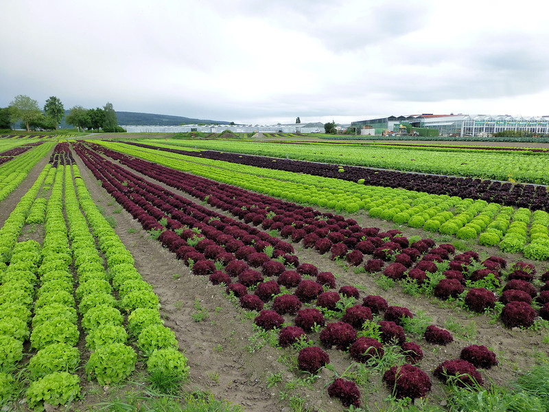 Day7-Reichenau lettuce.jpg