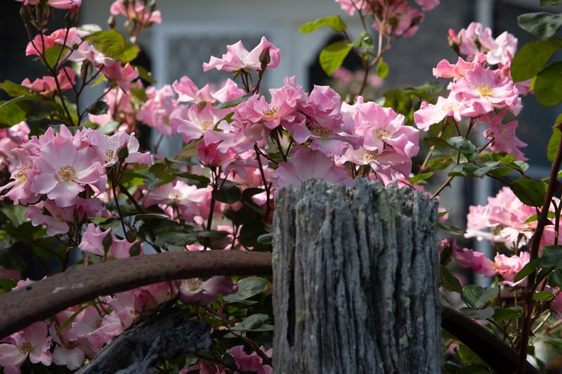 Sparrieshoop Rose