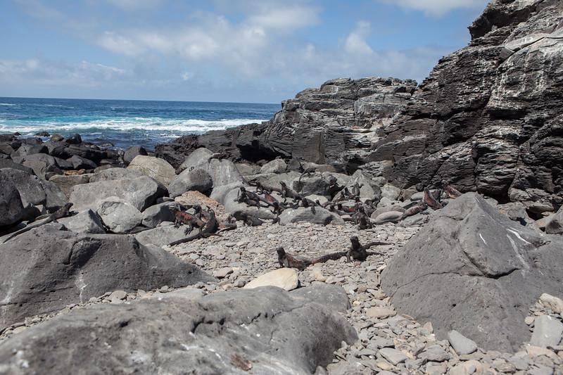 Marine Iguanas at Suarez Point, Espanola.jpg