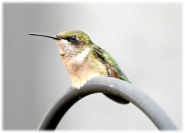 Humming_bird_011.jpg