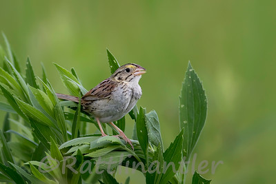 Henslow's Sparrows