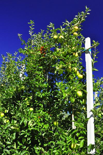 unusual apple tree shape for maximum production