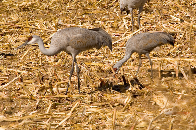 Cranes - Sandhill - greater and lesser - Bosque Del Apache NWR - NM