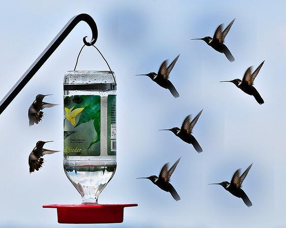 Hummingbirds and fellow Methodists