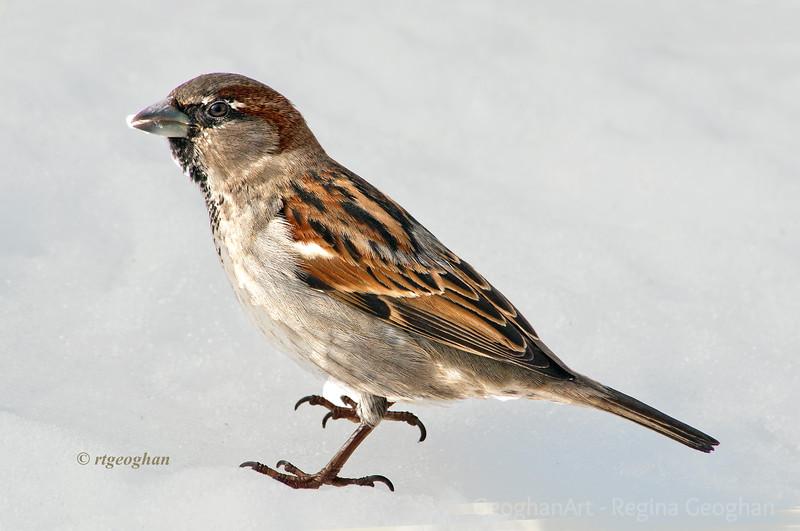 Feb 13_SparrowSnow_5777.jpg