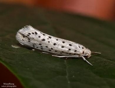 Miscellaneous Moth Families