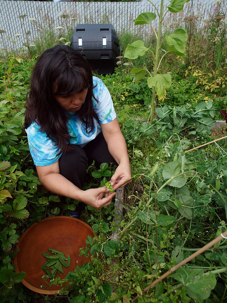 The Pea harvest at the Krumm/Owen farm