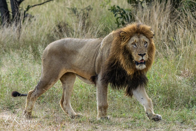 Mature Male Lion