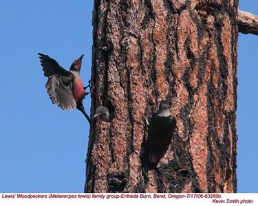 Lewis'WoodpeckersFG63269c.jpg