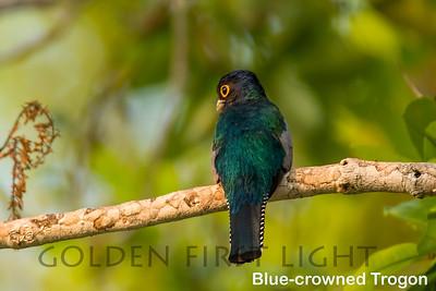 Blue-crowned Trogon, Pantanal, Brazil