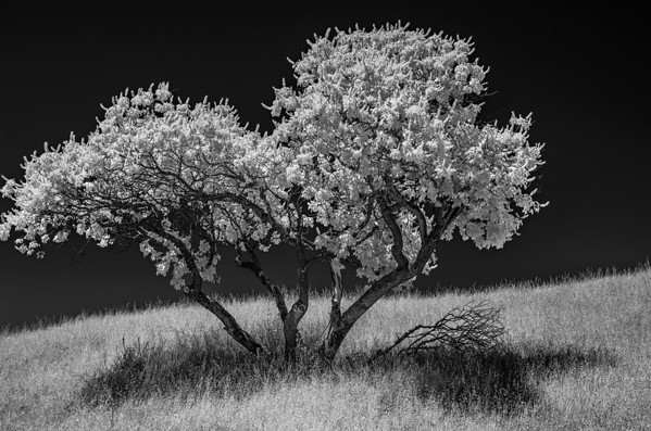Ancient Oaks in IR - June 2013
