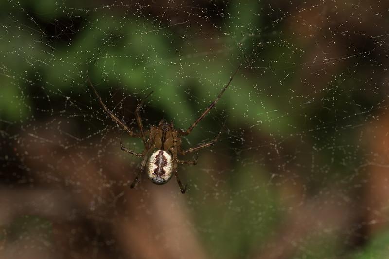 Hammock Spider /