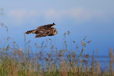 Shoet-Eared Owl