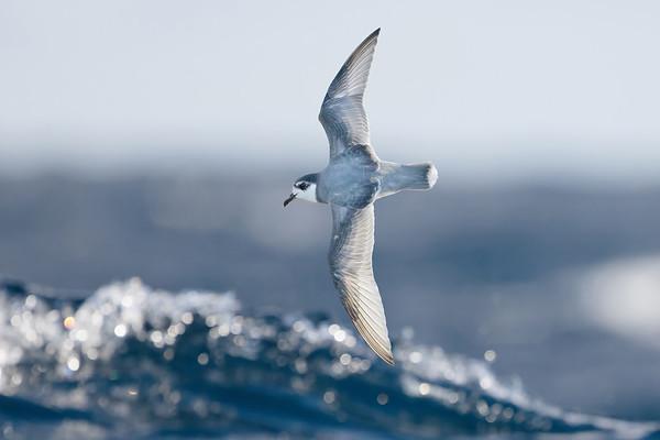 Birds of Tasmania