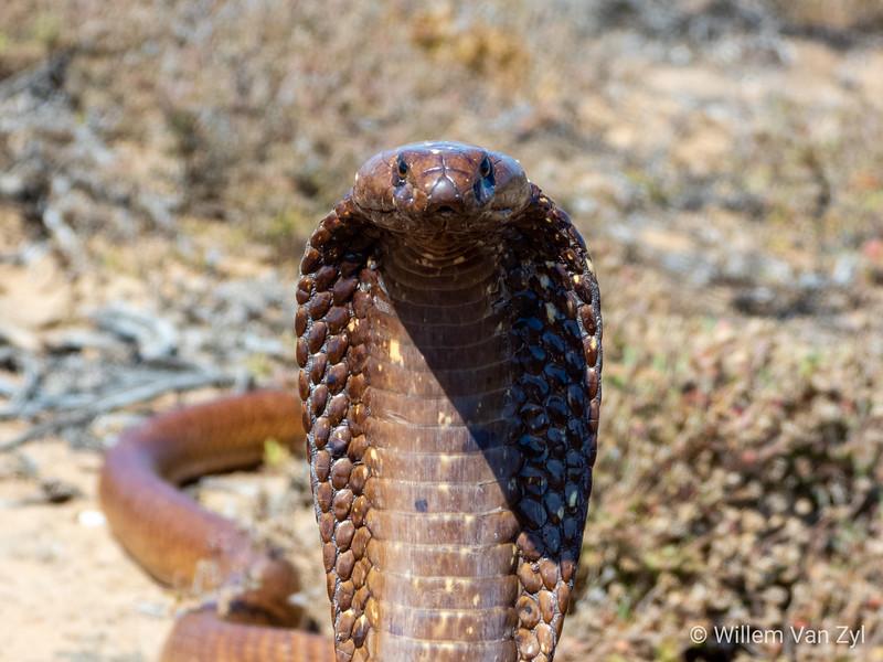 20191020 Cape Cobra (Naja nivea) from Lamberts Bay