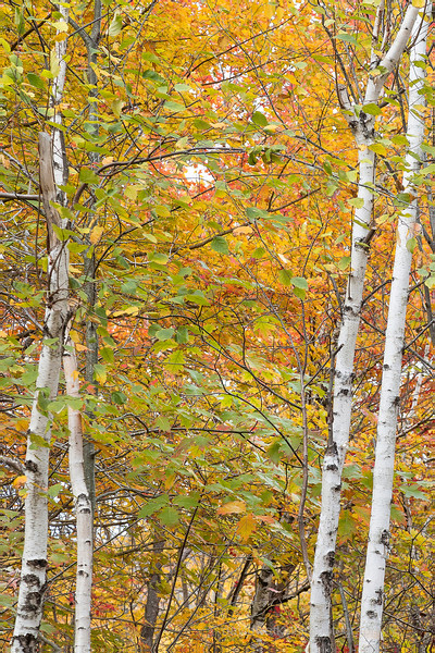 White Birch 2 by 2.jpg