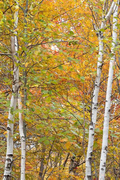 White Birch 2 by 2.jpg