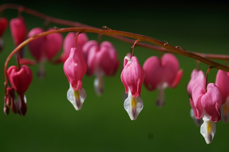 Oh my Bleeding Heart - Original