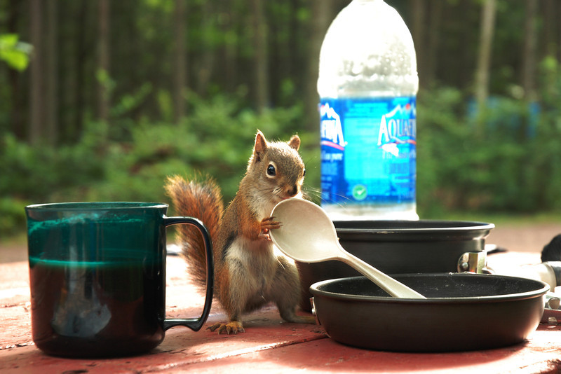 Uninvited guest at the Cavendish campground - Prince Edward Island
