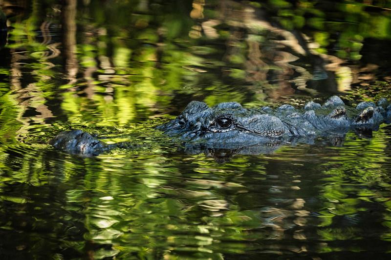 Gator_face-0885LUM.jpg