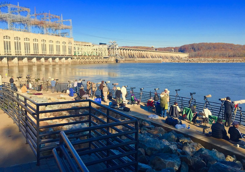 Conowingo Dam Eagles