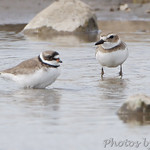 Wilson's Plover and Semiplamated Plover