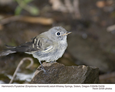 Hammond's Flycatcher A74239.jpg