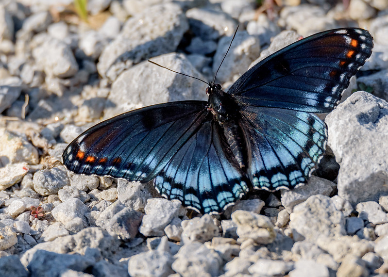 Red-spotted Purple or White Admiral at Nature Conservancy, Kankakee Sands, Morocco, IN