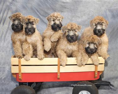 Wheaten pups