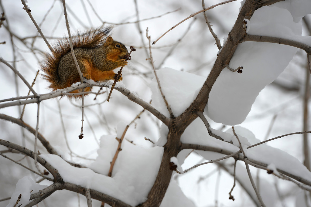 . A squirrel eats small buds from a tree amongst the snowy limbs in Boulder, CO on April 16, 2013. A spring snowstorm, dumped over 14 inches of snow in Boulder, CO  and more snow is in the forecast.   (Photo By Helen H. Richardson/ The Denver Post)