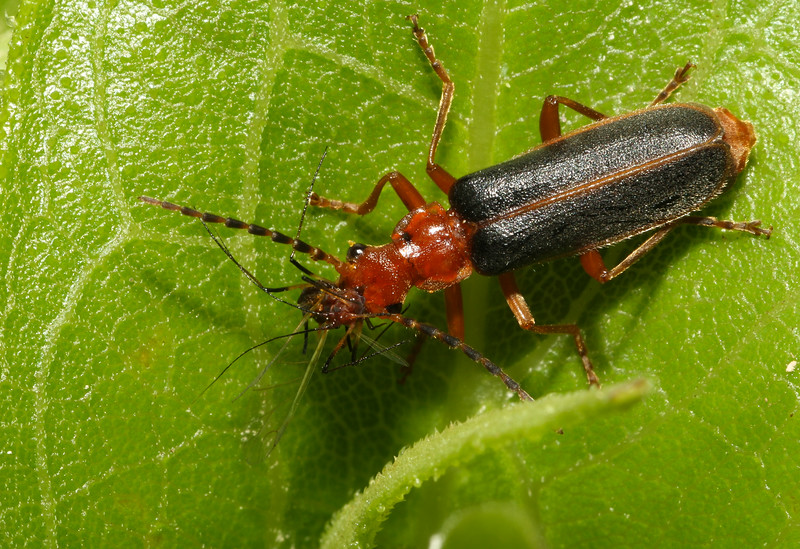 Soldier beetle (Cantharidae: genus Podabrus) with aphid prey (Aphidae: genus Uroleucon) on a sunflower plant in Iowa.