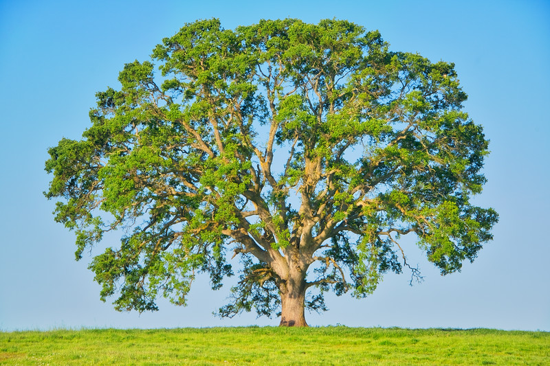 Big Lone Tree_DSC4254_HDR.jpg