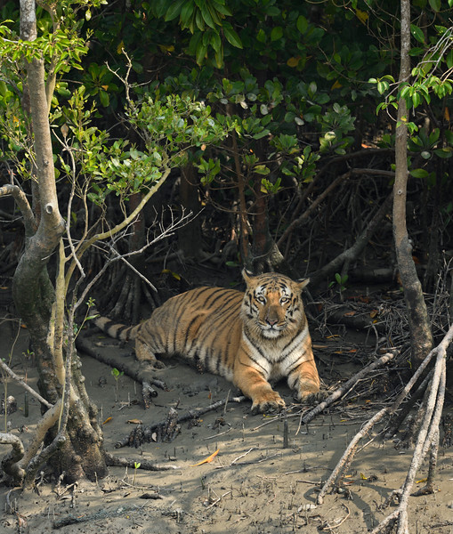 Tiger-mangroves-sundarbans-1.jpg