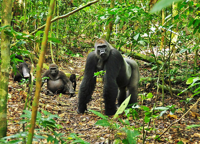 Congo Basin Gorilla Expedition October 2011