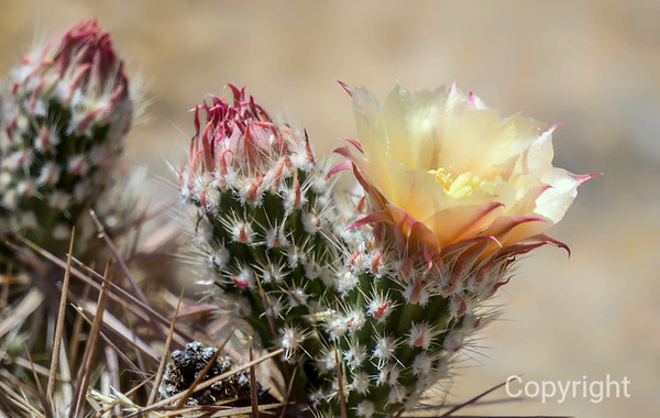 RAREST  Cactus Flower in Joshua Tree National Park