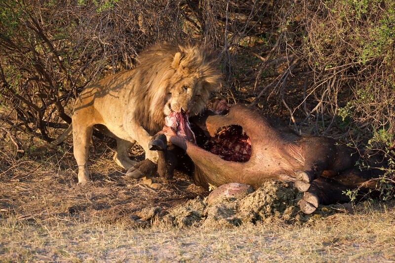 Lions with recent kill, Shinde camp, Botswana